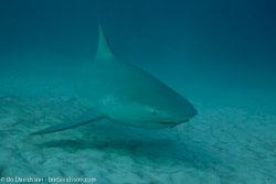 BD-101205-Playa-del-Carmen-2599-Carcharhinus-leucas-(Müller---Henle.-1839)-[Bull-shark.-Tjurhaj].jpg